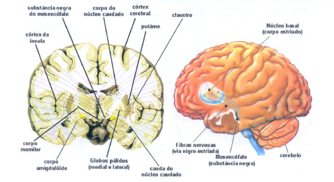 El cerebro posee una serie de peculiaridades anatómicas que hace que ...